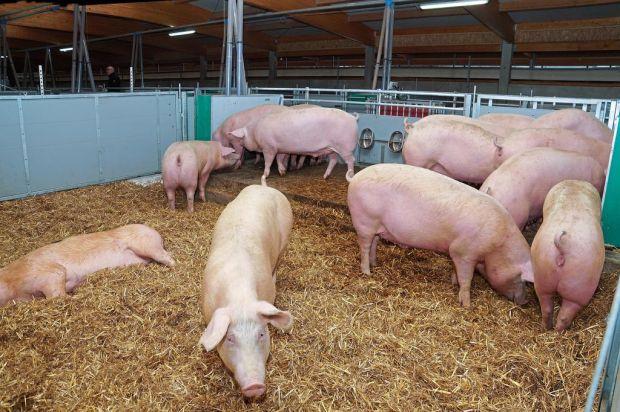 Schweine gesucht